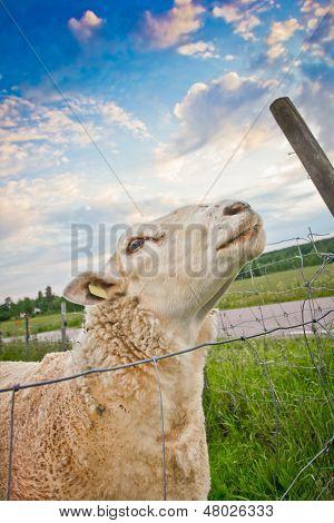 Sheep Looking Up