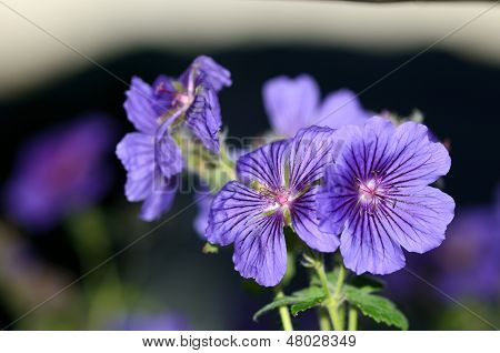 Close Up Of A Purple Or Violet Geranium In Bloom
