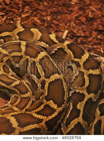 Close up of the bright, big and colorful anaconda snake