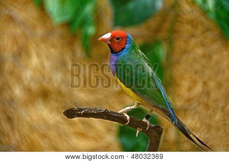 rainbow finch