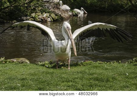 Flapping Pelican