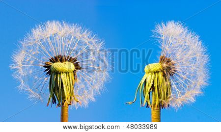 Two Closeup Overblown Dandelion Heads
