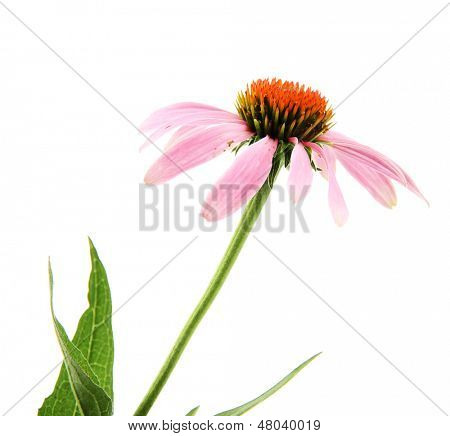 Echinacea flower isolated on white