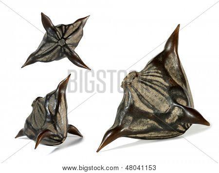 Water caltrop Trapa natans horny seed