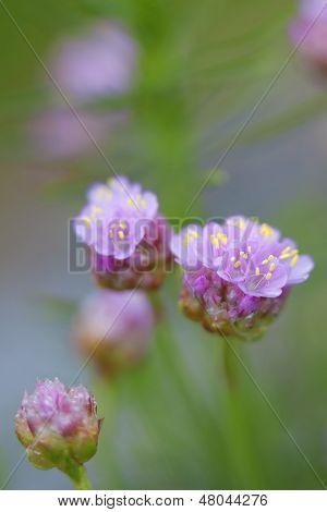 Sparsamkeit Blume