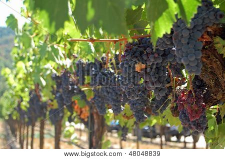 Grapes at Wine Vineyard