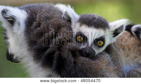 Close-up of a young Ring-tailed lemur