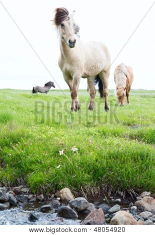 Wild Icelandic horses beautiful animals in green pasture low point of view this horse breed only lives in Iceland