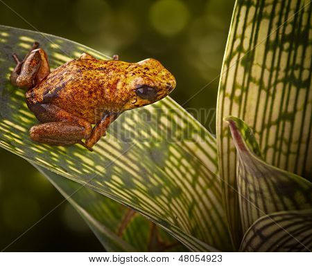 poison arrow frog from peruvian tropical Amazon rain forest beautiful exotic amphibian from Jungle in Peru