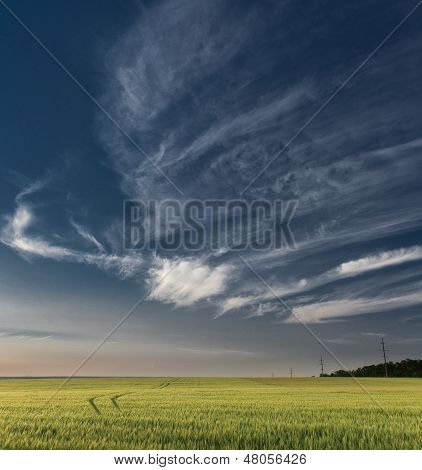 field with wheat and the blue sky