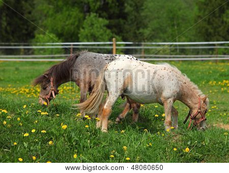 Pair paint pony grazing on pasture