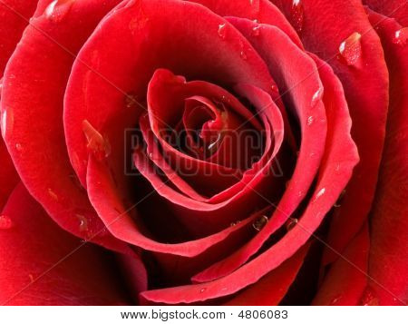 Closeup Of A Red Rose With Water Drops