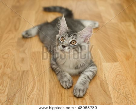 Kitten Lying On A  Floor