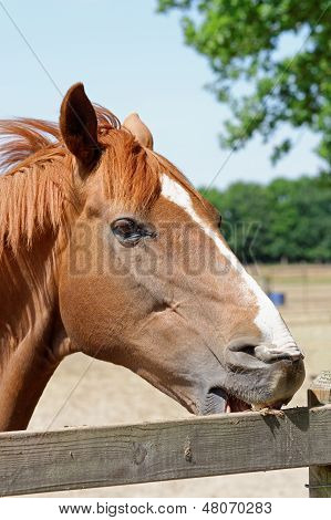 Young Horse Crib-biting On A Fence