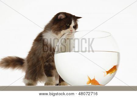 Cat looking at goldfish in a fishbowl against white background