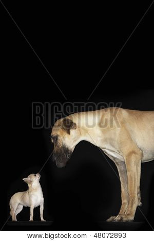 Side view of a Chihuahua and Great Dane standing against black background