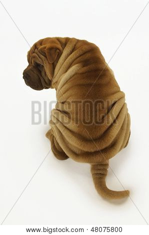 Rear view of a Sharpei sitting against white background