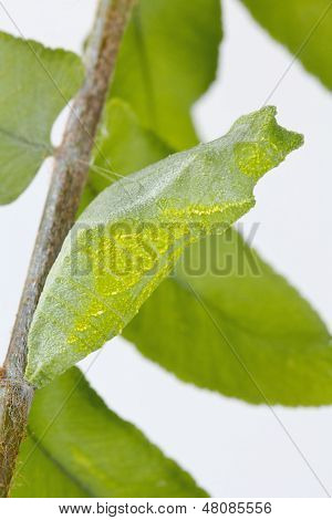 Camouflaged Green Swallowtail Butterfly Pupa