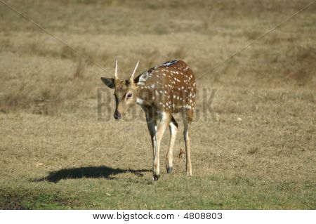 Young Axis Spike Buck