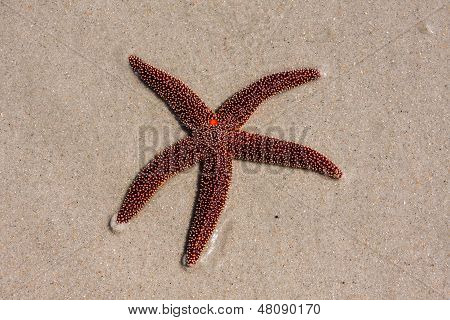 A Living Red Starfish