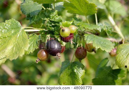 Jostaberry (Ribes x nidigrolaria)