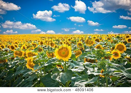 Beautiful landscape with sunflower field over cloudy blue sky and bright sun lights, Staro Selo near Velika Plana, Serbia.