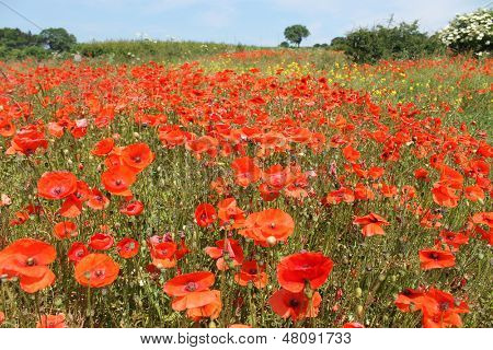 Field of bright red poppy flowers receding into distance.