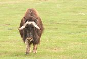 picture of herbivore  - Musk ox - JPG