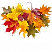 colored autumn fall leaves oak tree ( Quercus rubra ) isolated on white background