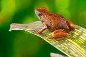 stock photo of orange frog  - Tropical poison dart frog Ecuador Amazon Rainforest Exotic amphibian from the deep rain forest a small poisonous animal with bright red orange colours - JPG