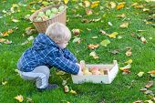 stock photo of crips  - Little toddler boy with basket full of apples in autumn garden Germany - JPG
