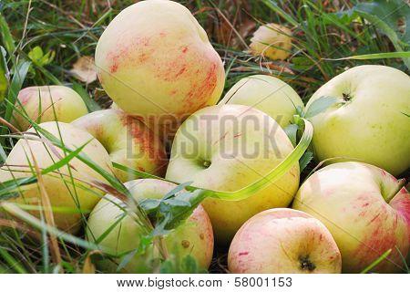 Fresh Apples In Grass