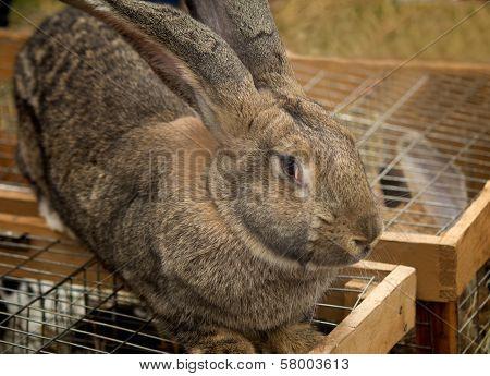 The Big Grey Rabbit Sold At The Fair.