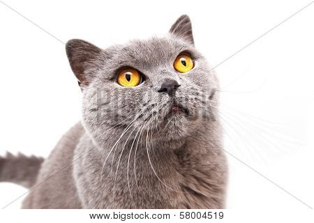 Portrait Of A Grey British Cat