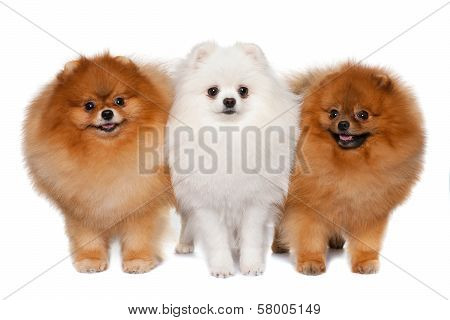 Group Of Pomeranian Spitzes
