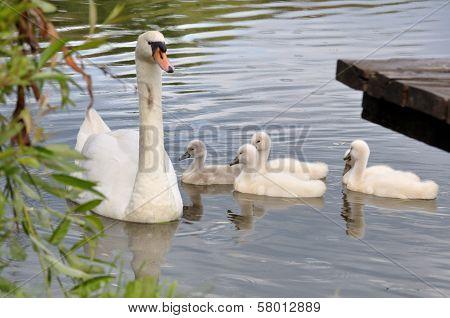 Swan & Chicks
