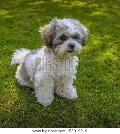 Cute Puppy Dog Sitting on Lawn