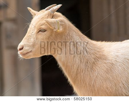 Cute Young Kid Goat In A Farm