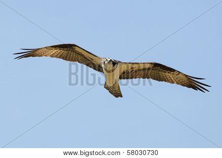 Osprey (pandion Haliaetus Carolinensis)