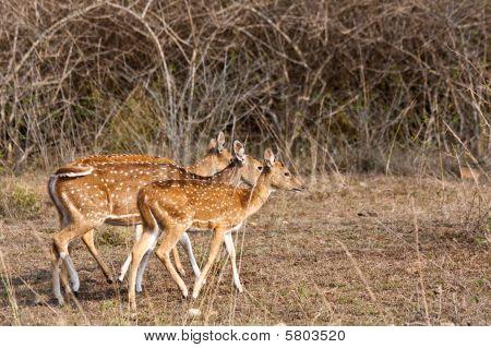 Axis Deer In Bandipur National Park