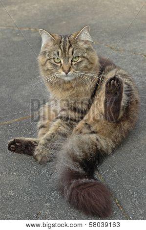 British Long Hair Cat