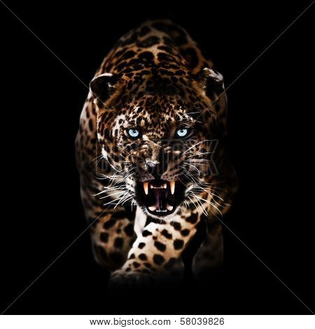 Angry Leopard piercing through the night