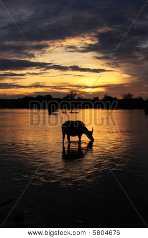 Water buffalo sunrise