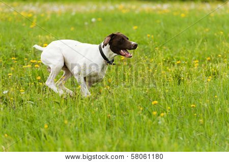 Dog Runs On A Green Grass