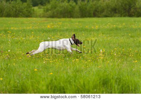 Dog Runs On A Green Grass