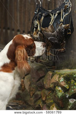 Gun Dog Near To  Trophies