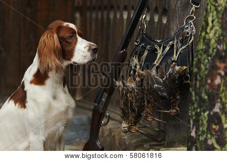 Gun Dog Near To Shot-gun And Trophies