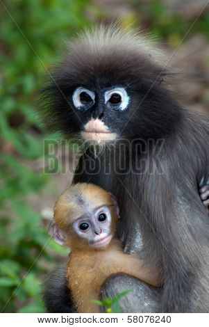Monkey Mother And Her Baby ( Presbytis Obscura Reid ).