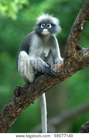 Monkey On Tree ( Presbytis Obscura Reid ) .