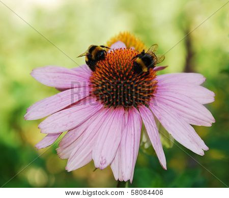 Echinacea Purpurea With Bees